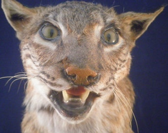 Taxidermy Bobcat head in glass display dome