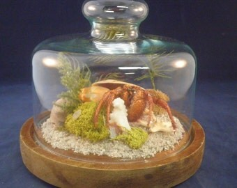 Taxidermy hermit crab & other sea life in a glass dome display--Nautical decor H-6