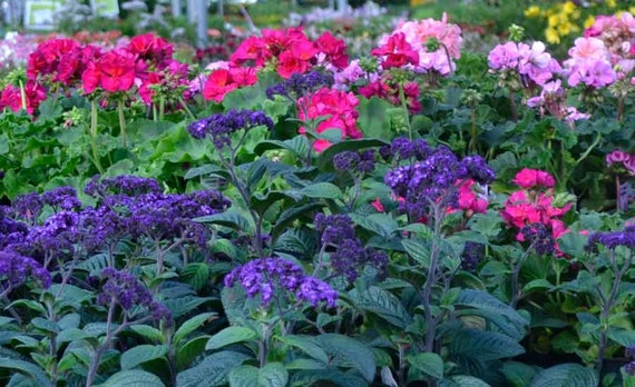 A 0.1g (appr. 150) heliotrope seeds MARINE attracts ...