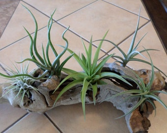 Five different air plants for under twelve dollars.