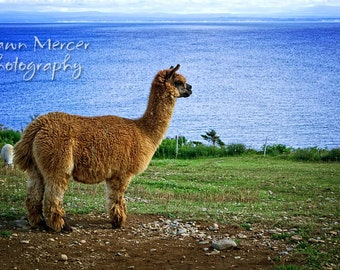 Alpaca Print, Alpaca In Newfoundland, Alpaca Photograph, Animal Photography, Photographic Print, Animal Photo Prints, Alpaca Wall Print