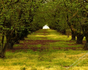 Oregon Orchard Photography, Landscape Wall Art, Nature Decor, 4x6, 5x7, 8x10, 11x14