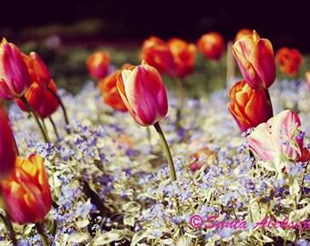 Tulips, Fine Art Photography, tulip photo, flower print, flowers, tulip art, home decor, wall art, flowers, forget-me-not, orange, blue, art