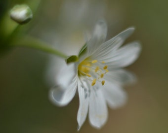 Photo Print of a Stitchwort flower, lovely photography flower print of this pretty delicate white flower in various sizes