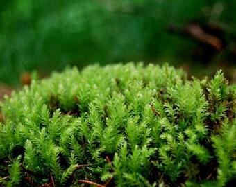 Live moss, lowland moss, for terrarium, vivarium, frogs, miniature garden or fairygarden. Live forest moss for decor, live terrarium plant