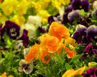Nature photography, flower photography, floral photo Pansy flowers