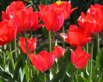 Red Tulips, Nature Photography, Sunlight Flowers, Red Color, Home Decor, Veldheer Gardens, Cheerful Photo, Holland Michigan, Wall Hanging
