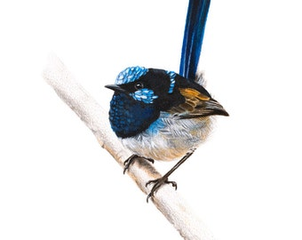 Superb Fairywren - Australian Birds - Blue Wren - Wildlife - Art Print