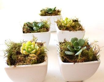 Single Succulent in White Ceramic Pot