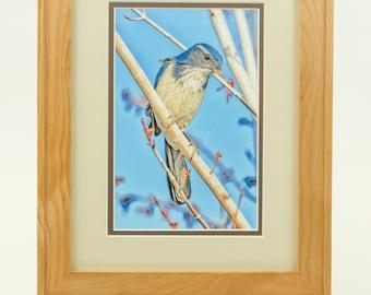 Picture of a Blue Western Scrub Jay Bird
