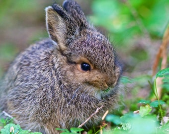 Baby Snowshoe Hare (Great for Baby's Room) Easter Spring