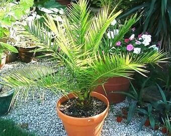 Date Palm Canary Island Seeds (Phoenix Canariensis) 5-Seeds