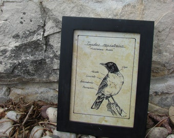 Pen and Ink American Robin Bird Drawing Print 5x7 Vintage -Like Science Diagram Picture