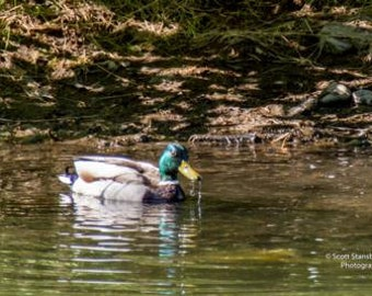 Fine Art Photography Duck for Business, Office, Bar or Home Decor.