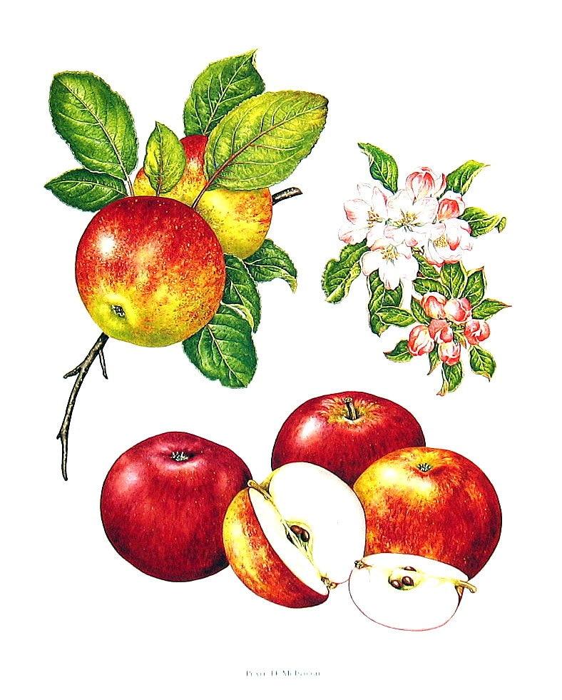 Apple Print Mcintosh Apples Kitchen Decor Wall Hanging