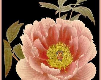 antique french victorian botanical print pink peony illustration black background digital download