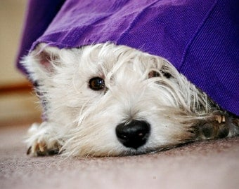 I am Crumpet 16 - Westie - Dog Photography - West Highland terrier - Wall Décor