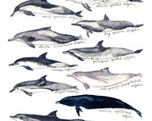 Dolphins of the World Illustrated Chart - Giclee Art Print of Watercolor Painting - Vintage Nautical Coastal Marine Biology Zoological Fauna
