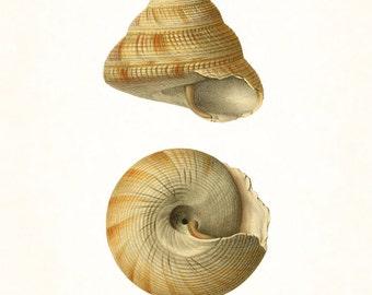 Vintage Shell Study No. 1, Giclee, Art Print, Nautical Art, Beach, Coastal Art, Wall Art, Shell Print, Natural History Art, Illustration