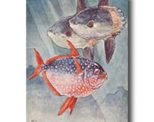 "Tropical Fish, 1930s Ocean Home Decor, Vintage Fish Wall Art --- ""Sunfish and Moonfish"" No. 260"