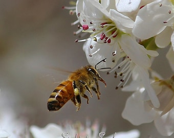 Nature photography, flying honey bee art print, gender neutral nursery decor, gray and white country home decor, fine art print