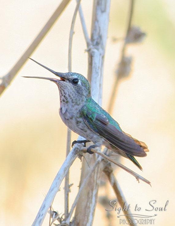 Singing Bird Photography, hummingbird photo, nature wall art, bird lover gift, gray green tan country home decor, fine art print