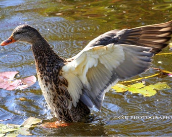 Nature Photography, Wildlife Photography, Duck photography, photography wall art, home decor,
