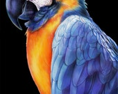 Macaw 2 Colored Pencil Drawing