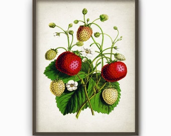 Strawberry Antique Botanical Wall Art Print - Vintage Kitchen Home Decor - Antique Strawberry Poster - Summer Fruit Picture (B136)
