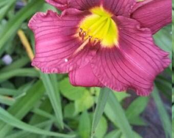 Little Grapette Daylily  bareroot 1 to 2 fan