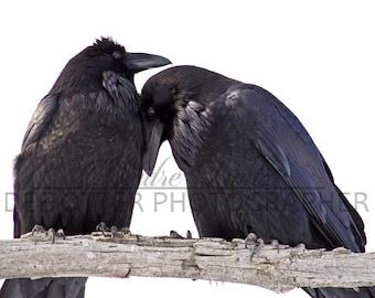 Raven Bond Photo Print: Raven Cuddles