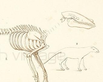 1861 Fossils Anaplotherium Antique engraving by Ch. Orbigny, Original Antique Print, Paleontology Home decor, French Lithograph