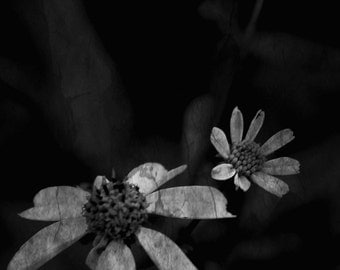 Black and White Nature Photography, Flowers, Daisey, Woods, Whimsical, Flower Photography, Dark, Dark Nature