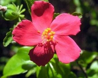 Hibiskus ferrugineus, red giant flower, 5 exotic seeds