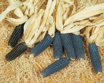50 Corn Seeds Mini Blue Ornamental Seeds Ornamental Corn POPCORN SEEDS