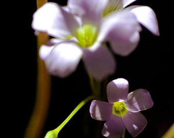 Brazilian Butterfly Plant, Full Frame, Violet, Flower