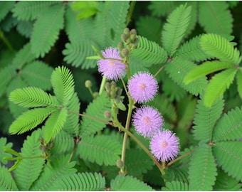 New 100 Seeds Home Garden Bashful Grass Mimosa Sensitive Plant Schrankia Uncinata Mimosa Pudica Flower Seeds