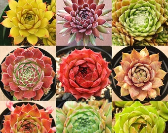 New Home Garden Plant 10 Seeds Rare Sempervivum Mix Succulent Seeds