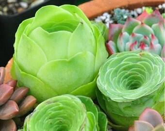 Diy Fresh Rare Succulent Plant Seeds 5 Seeds Home Garden Greenovia Aurea Seeds
