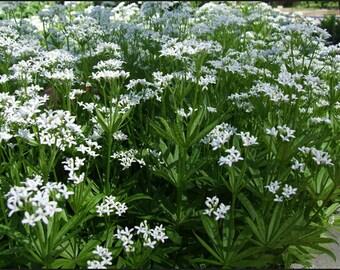 New Home Garden Plant 5 Seeds Sweet Woodruff Asperula Odorata or Galium Odoratum Seeds