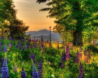 New Hampshire Art,Sunrise Photos, Lupine Photos, Nature Photography, Landscape Art, Mountain Photos,White Mountains,Home Decor, wall art