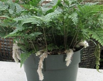 "White Rabbit's Foot Fern 3"" pot - Davallia - Easter Plant   (FREE SHIPPING)"