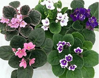 "Novelty African Violet - 4"" Clay Pot/Better Growth - Best Blooming (FREE SHIPPING)"