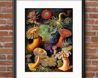 Ernst Haeckel Sea Urchins Nautilus Victorian Era Art Print, Haeckel Poster, Beach House Decor, Victorian Era Scientific Illustrations 0392