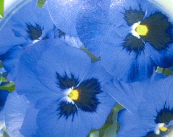 Viola heirloom seeds, blue Viola seeds, blue Violets seeds, spring flower seeds, Alpine lake Viola seeds, Viola wittrockiana 50+