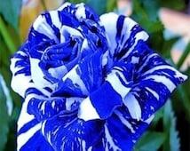 200 Blue Dragon Rose (Blue Stripe Rose) Bush Flower Seeds