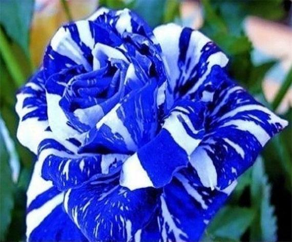 200 blue dragon rose blue stripe rose bush flower seeds by for Single blue rose for sale