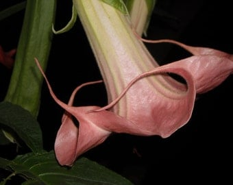Brugmansia Angel Trumpet Rosamond Strong Scent Sweet with Baby Powder Fragrance Live Plant