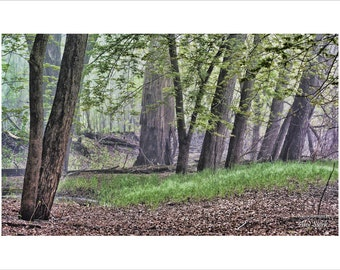 Leaning Trees Drama, Swampy, Wetland, Dew Covered, Mist, Damp, Wet, River Bottoms, MN River Valley