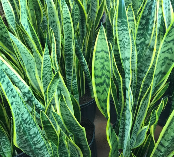 variegated snake plant mother in law 39 s tongue by plantsandgifts. Black Bedroom Furniture Sets. Home Design Ideas